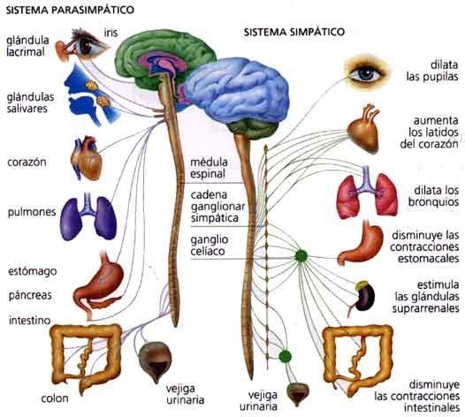 Sistema Parasimpático